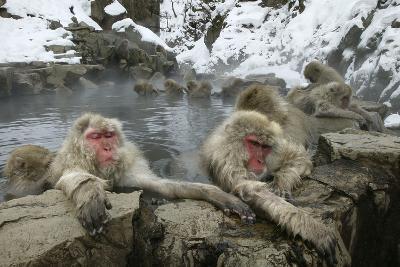 Snow Monkeys--Photographic Print