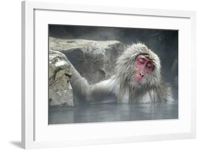 Snow Monkeys--Framed Photographic Print