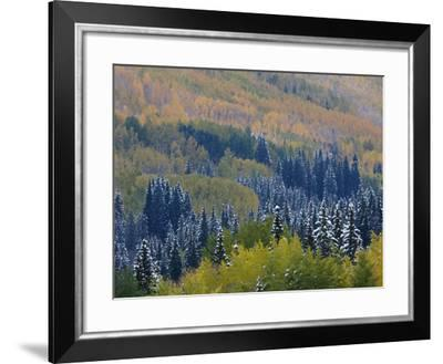 Snow on Aspen Trees in Fall, Red Mountain Pass, Ouray, Rocky Mountains, Colorado, USA-Rolf Nussbaumer-Framed Photographic Print