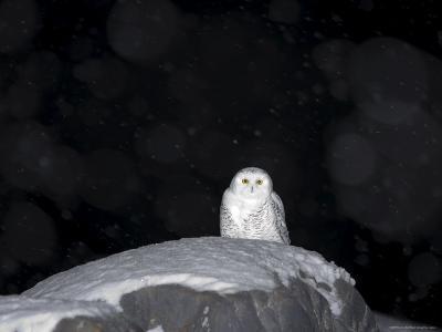 Snow Owl, Nyctea Scandiaca, Churchill, Manitoba, Canada, North America-Thorsten Milse-Photographic Print
