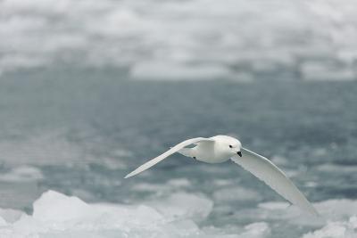 Snow Petrel-Joe McDonald-Photographic Print