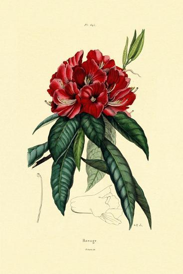 Snow Rose, 1833-39--Giclee Print