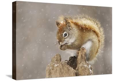 Snow Storm-Mircea Costina-Stretched Canvas Print