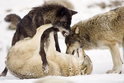 Snow, Wolves, Canis Lupus, Power Struggle Nature, Animals-Ronald Wittek-Photographic Print