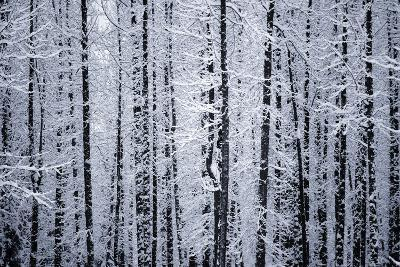 Snowcovered Cottonwood Trees Girdwood Southcentral Ak Winter-Design Pics Inc-Photographic Print