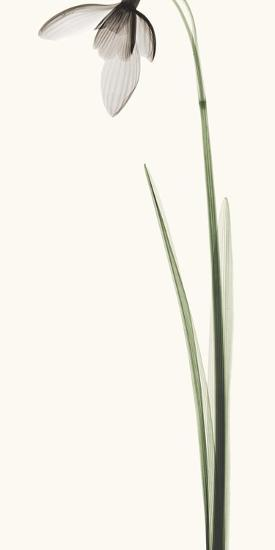 Snowdrop I-Robert Coop-Photographic Print