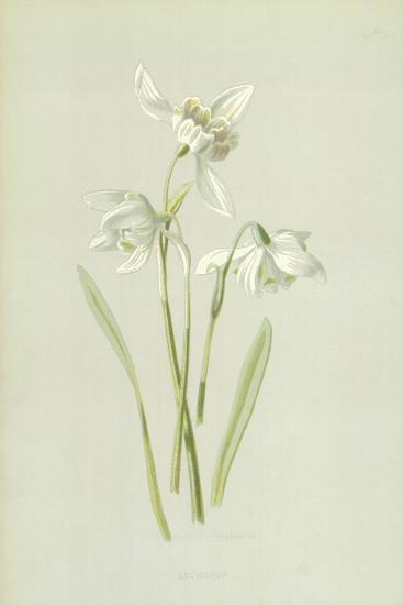 Snowdrop-Frederick Edward Hulme-Giclee Print