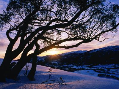 Snowgum at Sunrise on Main Range in Winter, Kosciuszko National Park, New South Wales, Australia-Grant Dixon-Photographic Print