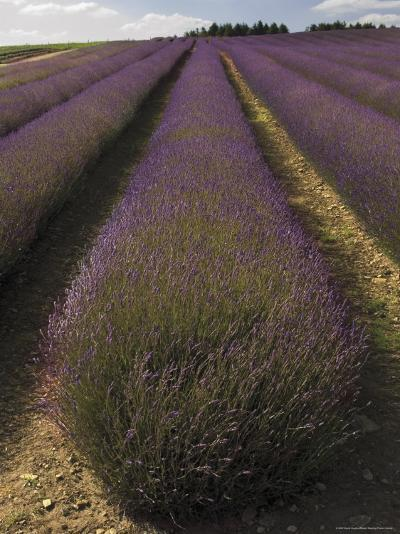 Snowshill Lavender Farm, Gloucestershire, the Cotswolds, England, United Kingdom-David Hughes-Photographic Print