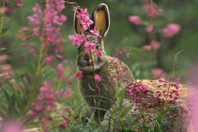 Snowshoe Hare, Alaska, Usa-Tim Fitzharris-Photographic Print