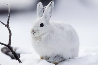 Snowshoe Hare in Snow--Photographic Print