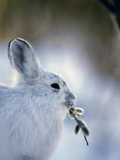 Snowshoe Hare (Lepus Americanus) Slana, Alaska-Michael S^ Quinton-Photographic Print