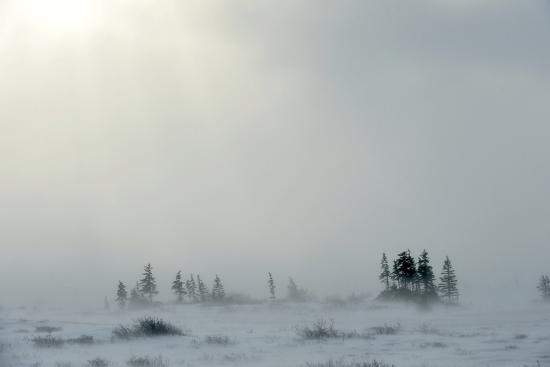 Snowstorm in Tundra Landscape with Trees. Low Visibility Conditions due to a Snow Storm in Tundra F-Sergey Uryadnikov-Photographic Print