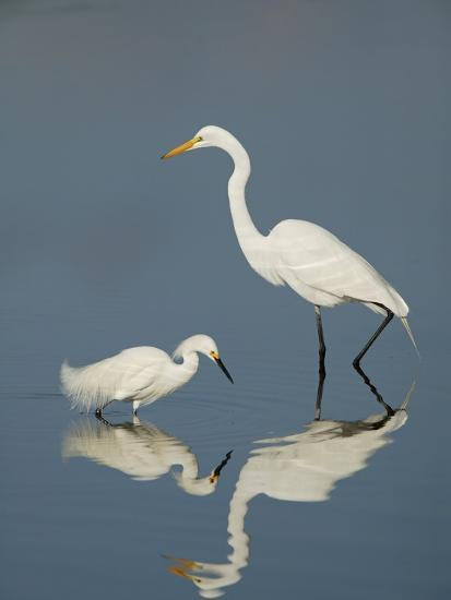 Snowy and Great Egrets-Arthur Morris-Photographic Print