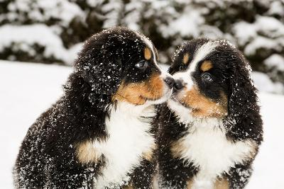Snowy Bernese Mountain Dog Puppets Sniff Each Others-Einar Muoni-Photographic Print