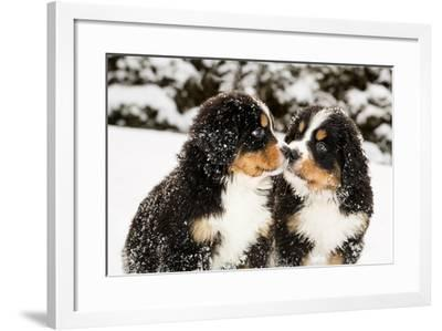 Snowy Bernese Mountain Dog Puppets Sniff Each Others-Einar Muoni-Framed Photographic Print