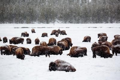 Snowy Bison Graze During A Light Snow Fall At Yellowstone National Park In Winter-Ben Herndon-Photographic Print