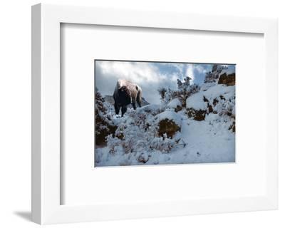Snowy Buffalo-Steve Hunziker-Framed Art Print