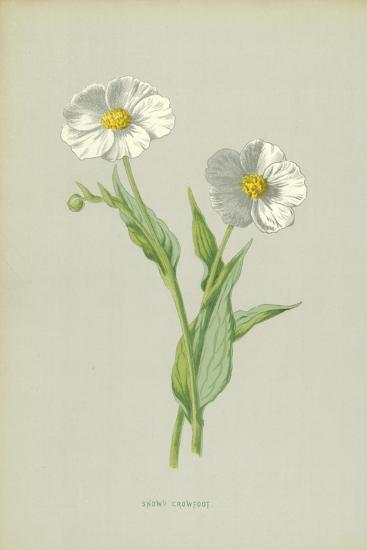 Snowy Crowfoot-Frederick Edward Hulme-Giclee Print