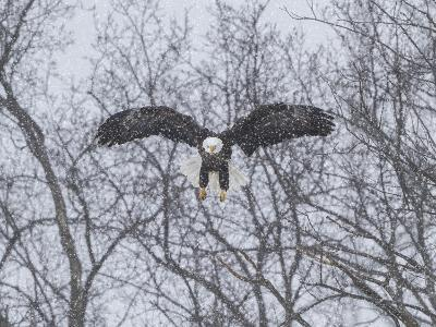 Snowy Eagle-Galloimages Online-Photographic Print