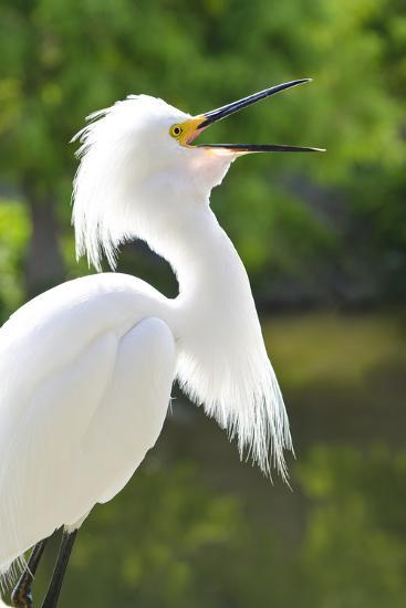 Snowy Egret Bird, Everglades, Florida, USA-Michael DeFreitas-Photographic Print