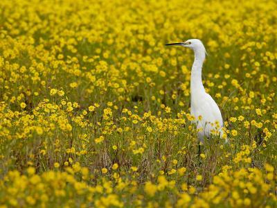 Snowy Egret (Egretta Thula) Among Goldfields, San Jacinto Wildlife Area, California-James Hager-Photographic Print