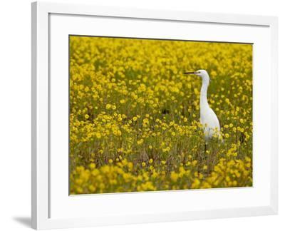 Snowy Egret (Egretta Thula) Among Goldfields, San Jacinto Wildlife Area, California-James Hager-Framed Photographic Print