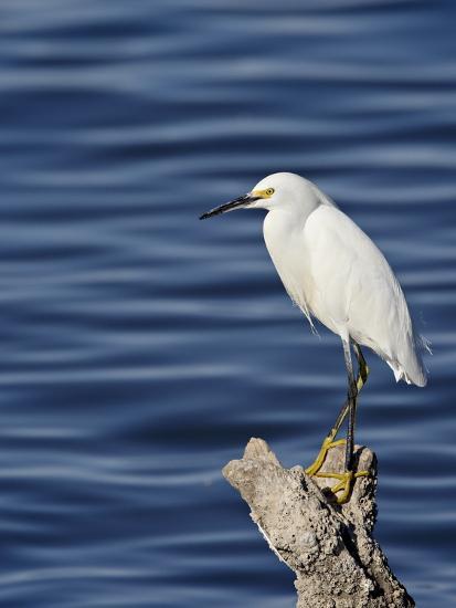 Snowy Egret (Egretta Thula), Sonny Bono Salton Sea National Wildlife Refuge, California, USA--Photographic Print