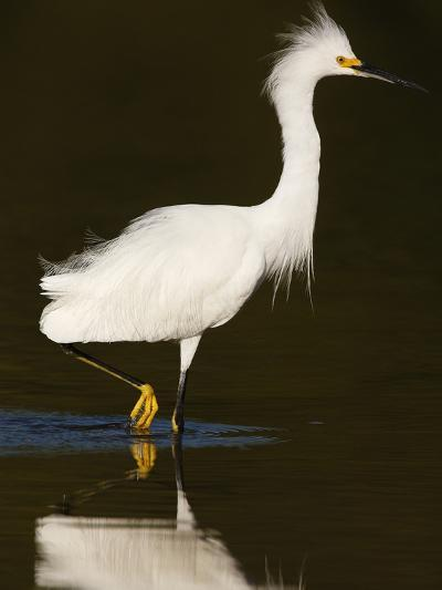 Snowy Egret (Egretta Thula)-John Cornell-Photographic Print