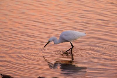 Snowy Egret Feeding in Lagoon at Sunset--Photographic Print