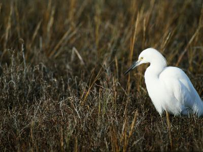 Snowy Egret on the Ground in Wetlands-Jeff Foott-Photographic Print
