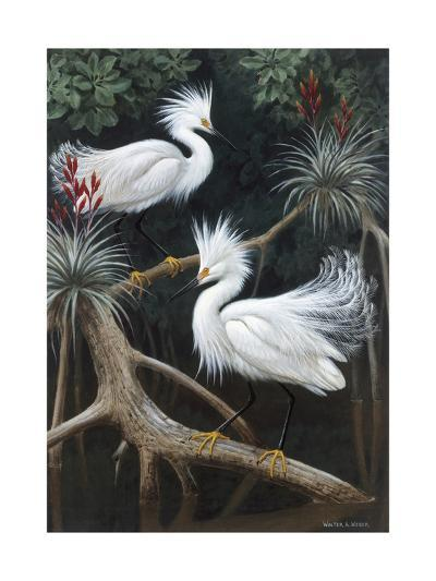 Snowy Egrets Display their Courtship Plumage in a Mangrove Swamp-Walter Weber-Photographic Print