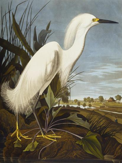 Snowy Heron or White Egret / Snowy Egret (Egretta Thula), Plate CCKLII, from 'The Birds of America'-John James Audubon-Premium Giclee Print