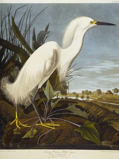 Snowy Heron Or White Egret Snowy Egret Giclee Print John James Audubon Art Com