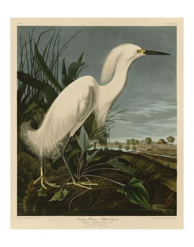 Snowy Heron or White Egret-John James Audubon-Art Print