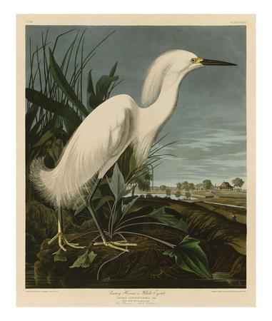 https://imgc.artprintimages.com/img/print/snowy-heron-or-white-egret_u-l-f8ckhs0.jpg?p=0
