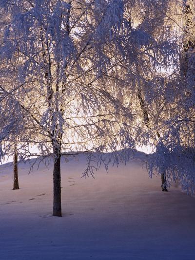 Snowy Light Trees, Anchorage, Alaska-Mike Robinson-Photographic Print