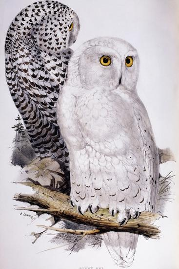 Snowy Owl, 1832-1837-Edward Lear-Giclee Print