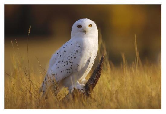 Snowy Owl adult amid dry grass, circumpolar species, British Columbia, Canada-Tim Fitzharris-Art Print