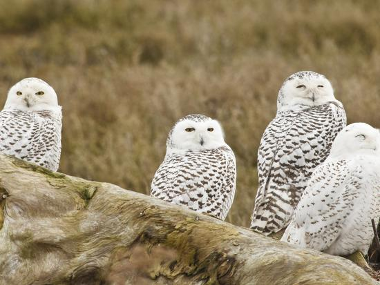 Snowy Owl, Boundary Bay, British Columbia, Canada-Rick A^ Brown-Photographic Print