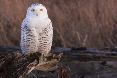 Snowy Owl, British Columbia, Canada-Art Wolfe-Photographic Print