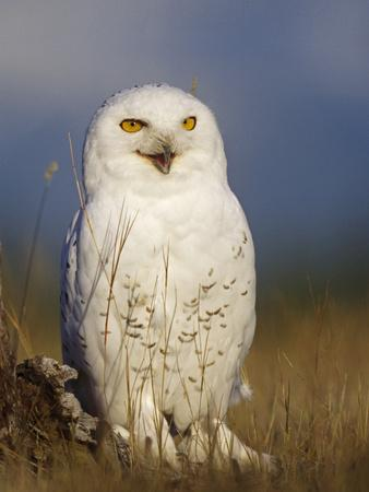 Snowy Owl, British Columbia, Canada-Tim Fitzharris-Photographic Print