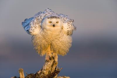 Snowy Owl (Bubo Scandiacus) Fluffing Feathers-Gerrit Vyn-Photographic Print