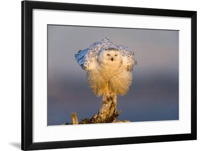 Snowy Owl (Bubo Scandiacus) Fluffing Feathers-Gerrit Vyn-Framed Photographic Print