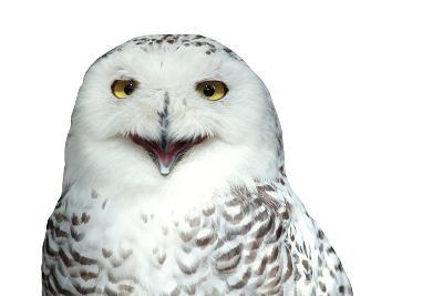 Snowy Owl (Bubo Scandiacus) Smiling And Laughing Isolated On White-l i g h t p o e t-Photographic Print