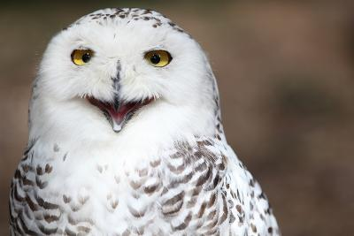Snowy Owl (Bubo Scandiacus) Smiling And Laughing-l i g h t p o e t-Photographic Print