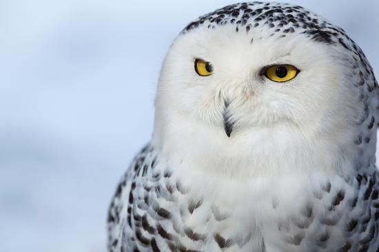 Snowy Owl (Bubo Scandiacus)-l i g h t p o e t-Photographic Print