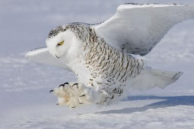 Snowy Owl in Flight--Photographic Print
