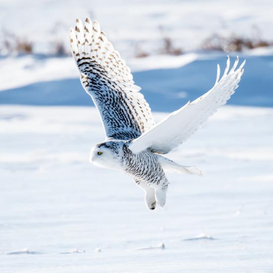 Snowy Owl in Flight- FotoRequest-Photographic Print