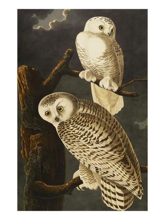 https://imgc.artprintimages.com/img/print/snowy-owl-nyctea-scandiaca-plate-cxxi-from-the-birds-of-america_u-l-pemlrn0.jpg?p=0